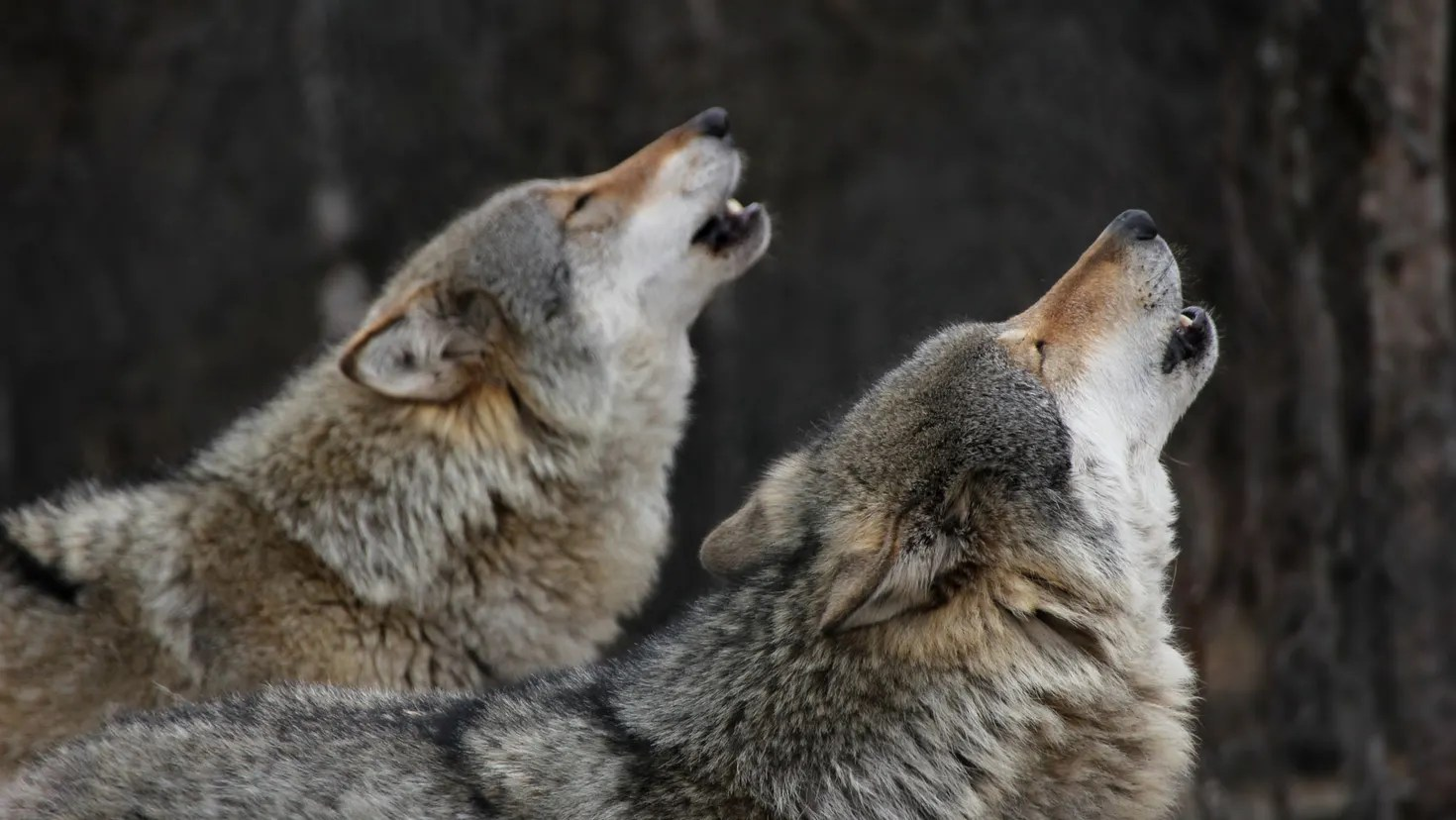 POLL: Should wolves be classified as predators to allow year-round hunting?