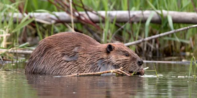 A spokesperson for internet provider Telus said that a beaver had chewed through a fiber cable at multiple points.