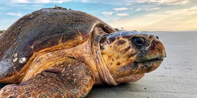 FILE - In this July 5, 2019, file photo provided by the Georgia Department of Natural Resources, a loggerhead sea turtle returns to the ocean after nesting on Ossabaw Island, Ga. A federal judge ordered an injunction Thursday, May 20, 2021, stopping the scheduled dredging of a Georgia shipping channel because of threats to nesting sea turtles. The Army Corps of Engineers wants to scrap a policy that for 30 years has protected rare sea turtles from being mangled and killed by dredged used to suck sediments from harbors in four Southern states. (Georgia Department of Natural Resources via AP, File)