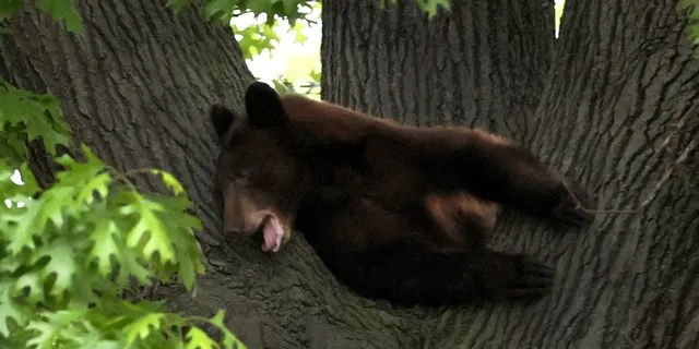 St. Louis authorities cornered a juvenile bear in a tree outside a family home on Sunday night.