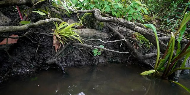 Tree roots are exposed along Hog Bayou, part of the Wax Lake Delta system, in St. Mary Parish, La., Saturday, May 1, 2021. NASA is using high-tech airborne systems along with boats and mud-slogging work on islands for a $15 million study of these two parts of Louisiana's river delta system. (AP Photo/Gerald Herbert)