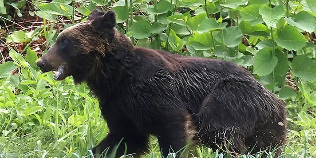 This picture shows a brown bear that is on the loose in Sapporo, Hokkaido on Friday. A brown bear was on the loose in the northern Japanese city of Sapporo, with the government warning residents to stay home after the animal injured four people including a soldier. (Photo by STR/JIJI PRESS/AFP via Getty Images)