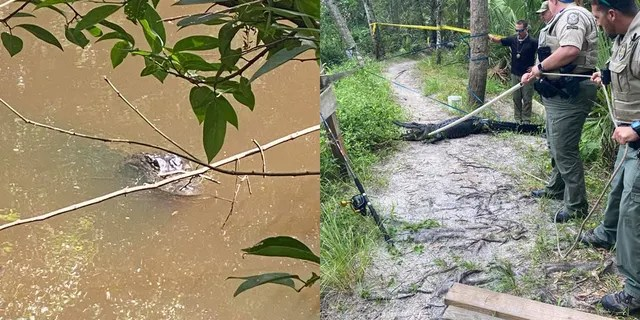 The alligator was located and trapped following the attack. (Martin County Sheriff's Office)