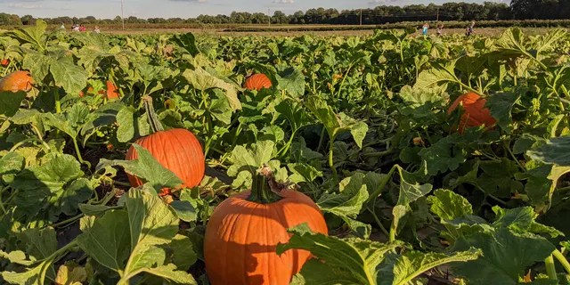 It's a U-Pick oasis at Fifer Orchards, where in addition to moseying around the pumpkin patch, you can also take on the six-acre corn maze — this year's theme is Scooby-Doo — or head to the park or hop on a tractor train ride with little ones.
