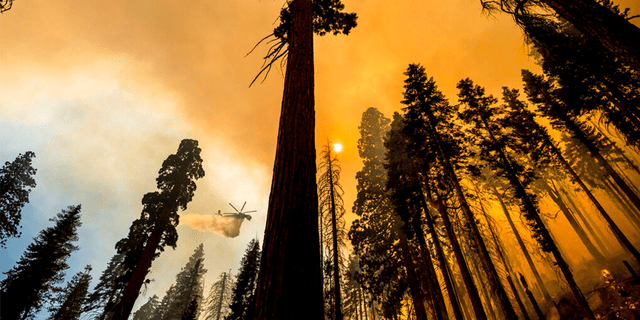 A helicopter drops water on the Windy Fire burning in the Trail of 100 Giants grove of Sequoia National Forest, Calif., on Sunday, Sept. 19, 2021.