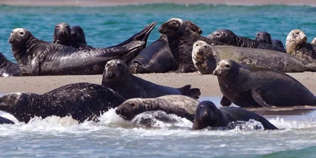 Seals, a food source for the area's great white sharks, sunbathe and swim near a sighting of a great white shark off the Massachusetts coast of Cape Cod, Tuesday, August 17, 2021.