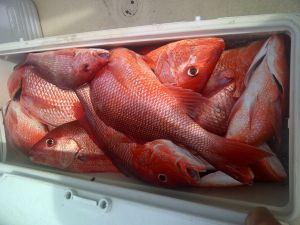 snapper fishing orange beach and the bite is on including big red snapper