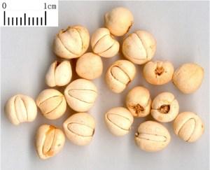Chinese medicine Bei Mu 01