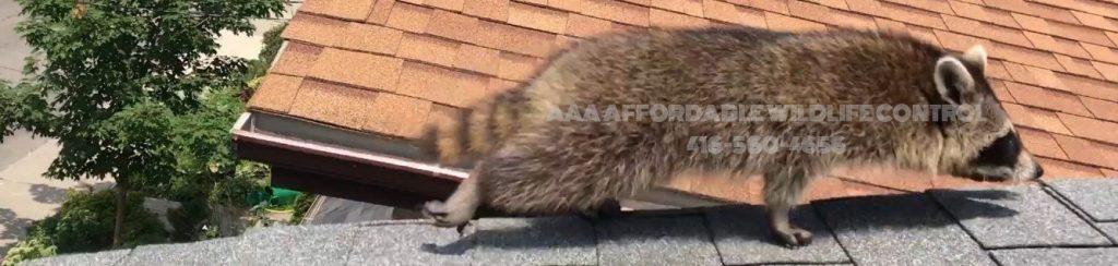Raccoon Removal North York, Affordable Wildlife Control North York