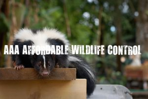 Skunk Removal North York - AAA Affordable Wildlife Control