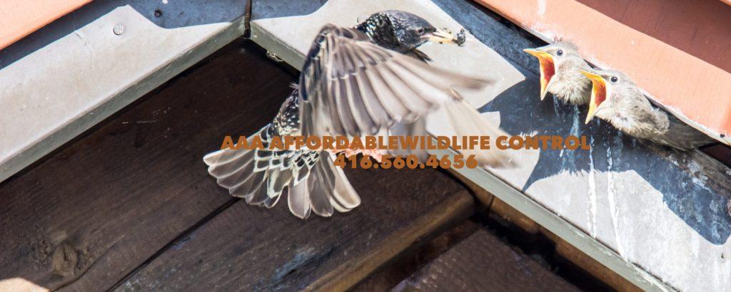 Wildlife Control Bird Nest Removal Toronto