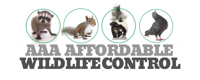 Wildlife Removal in Mississauga, AAA Affordable Wildlife Control in Mississauga