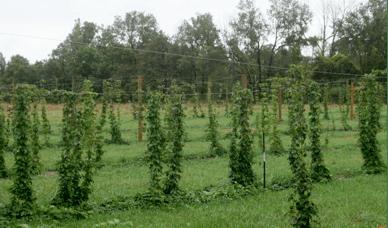 Steve's hop field