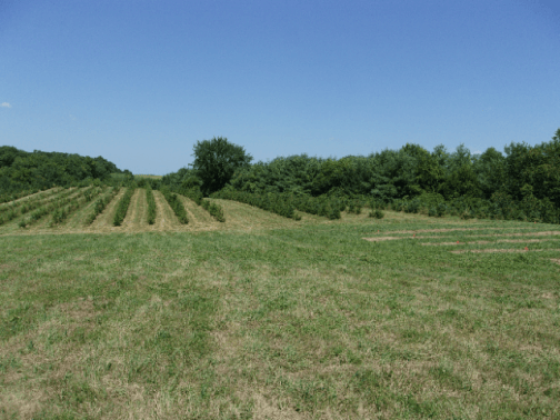 rows of Serbian Spruces and Canaan Firs