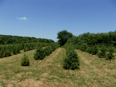 several rows of Serbian Spruces