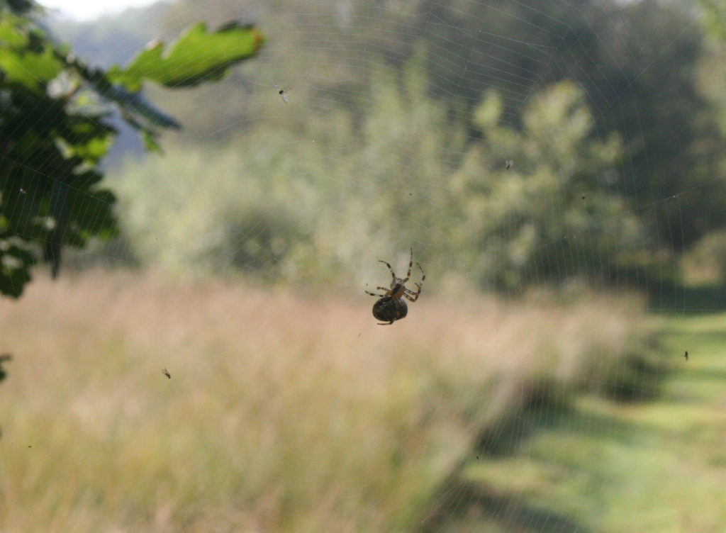 Spinnen koppen boven het wandelpad