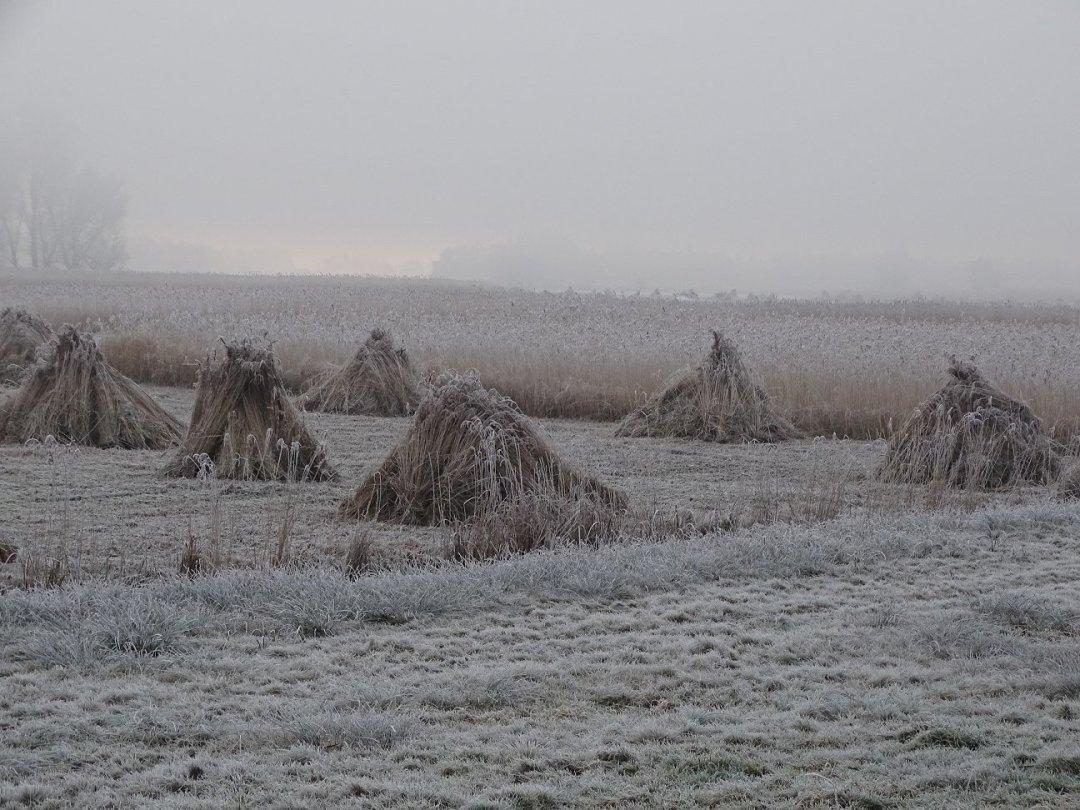 Wigwams in een riet veld: klaar om te binde