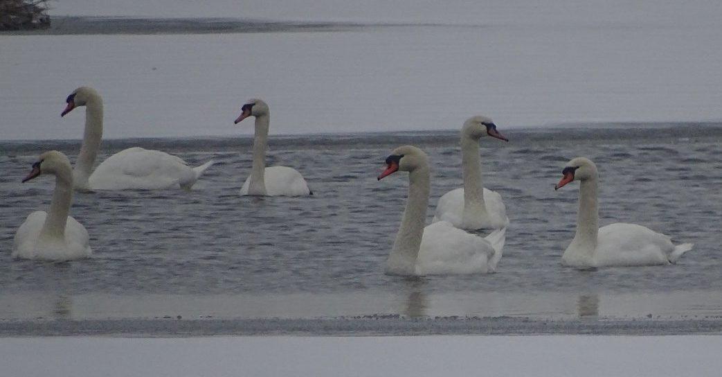 Vijf zwanen kijken naar links, één naar rechts. Of andersom.