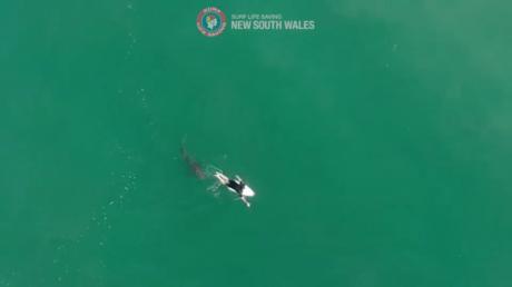 آسٹریلیا کے کھلے سمندر میں تیراکی مقابلہ: شارک حملے میں تیراک بال بال بچا (ویڈیو)۔