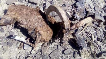 بلوچستان: زامران میں مارخوروں کی پُراسرار ہلاکت