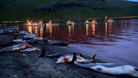 ڈنمارک میں کلچر کے نام پر جہالت کا ناچ: رواں برس حد درجہ 1428 ڈولفن کی نسل کشی، مارنے کے بعد دفن، علاقائی سمندری ماحول کو خطرہ لاحق