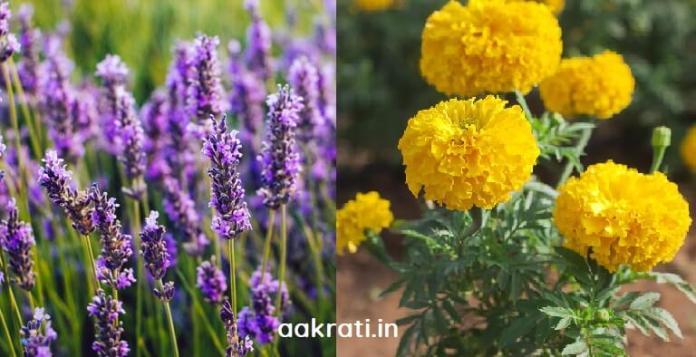 Mosquito repellent plants Lavender and Marigold