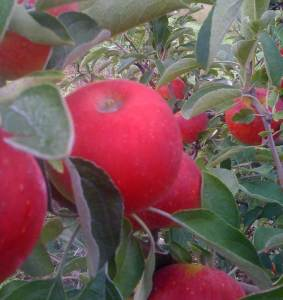 Akane apples in late August
