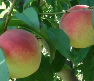 Nectar white peaches still on the tree.