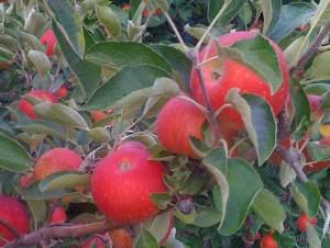 Akane tree full of fruit