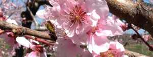 Nectarine blossom in bloom.