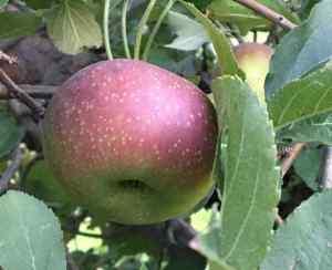 Winecrisp Apple