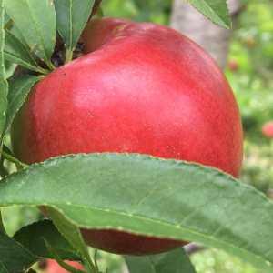 Bowden white nectarine.