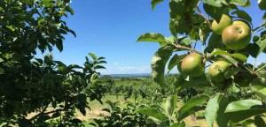 Orchard view toward Buffalo River.