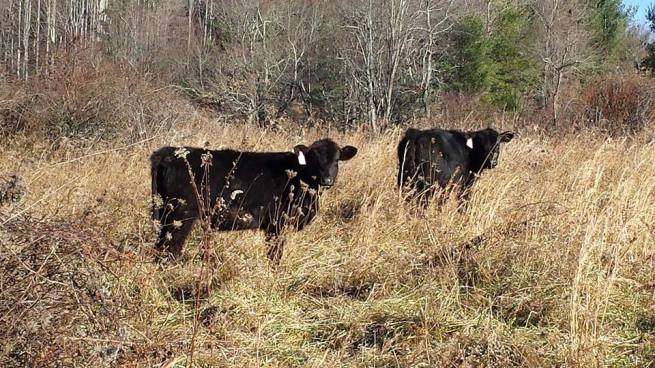 Cattle eating Grass