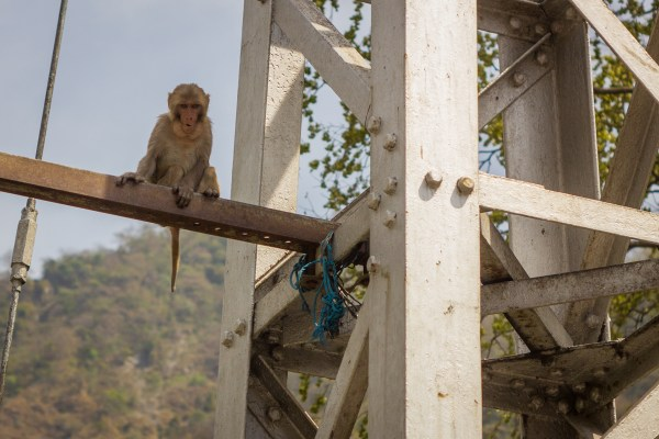 cunning monkey above the bridge