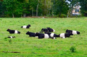 White-belted cows