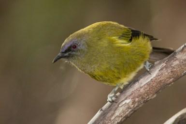 bellbird-10