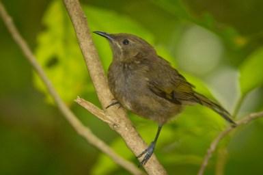 bellbird-4