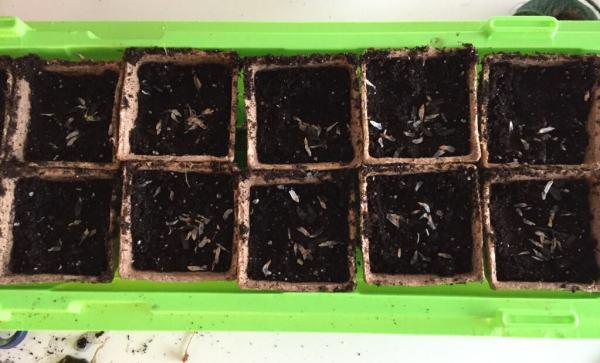 Agapanthus odling