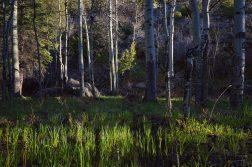 Morning Light In a Grove Of Aspens