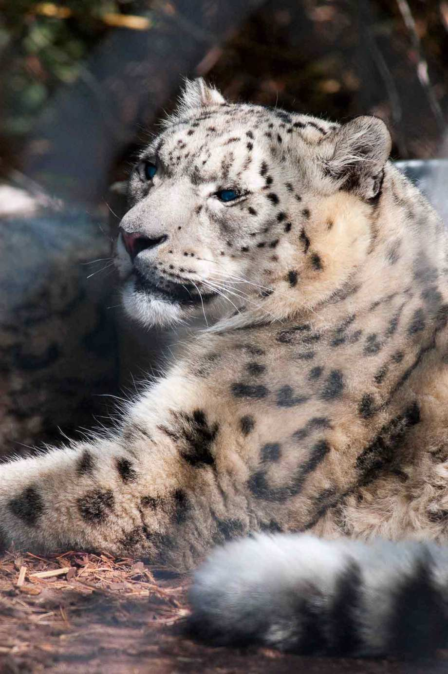 Snoozy Snow Leopard