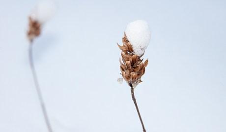 Snowy Stem