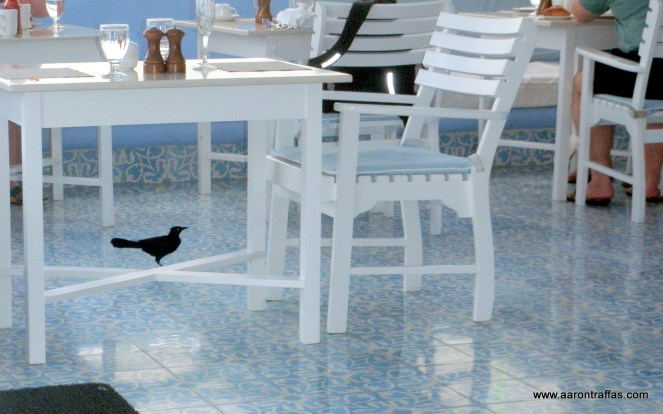 Birds roam free on the patio, eating leftovers