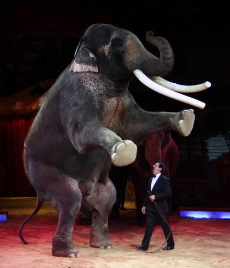 cirkuselefant