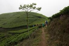 Puncak Tea Estate Walk