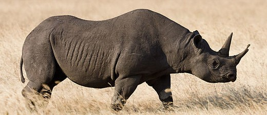 black-rino