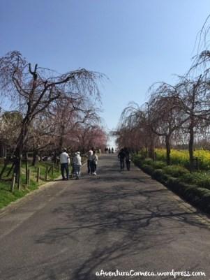 togokusan fruits park shidarezakura