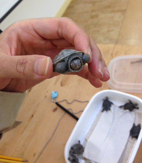 Six baby terrapin turtles ready for release. (Photo: Eveline Chao)