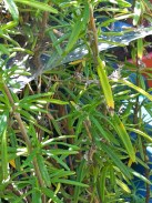 Also in the rosemary. Seems that wherever there's lots of plant debris, I find spiders.