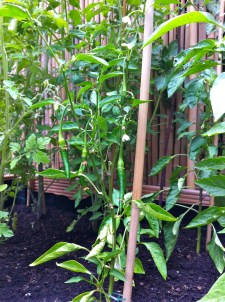 as well as the chilies.